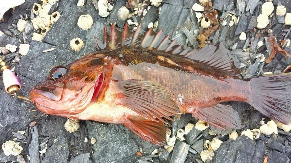 little rockfish
