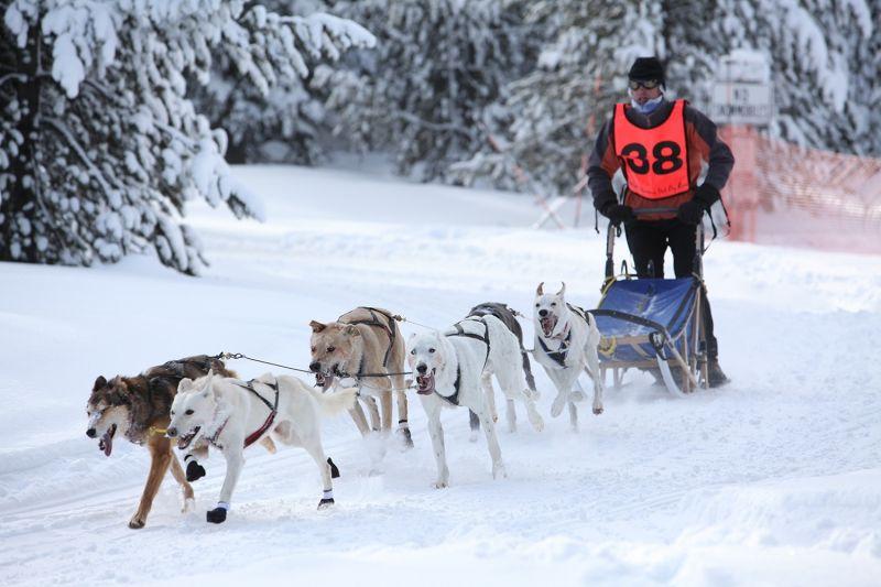 Sled Dog Races West Yellowstone Montana