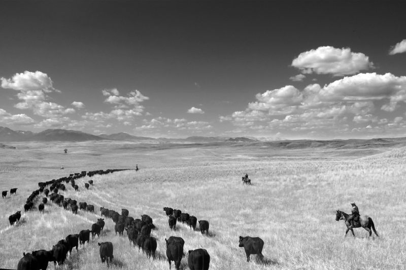 """""""Cow Country"""" from """"Pure Quill"""""""