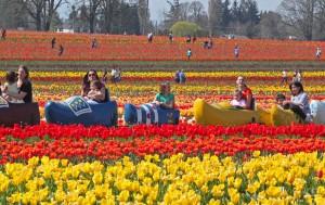 12-pic-tulip-tram