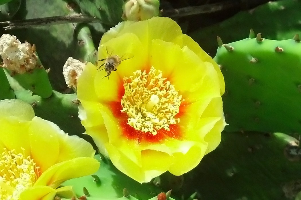 Honeybee and Prickly Pear Cactus