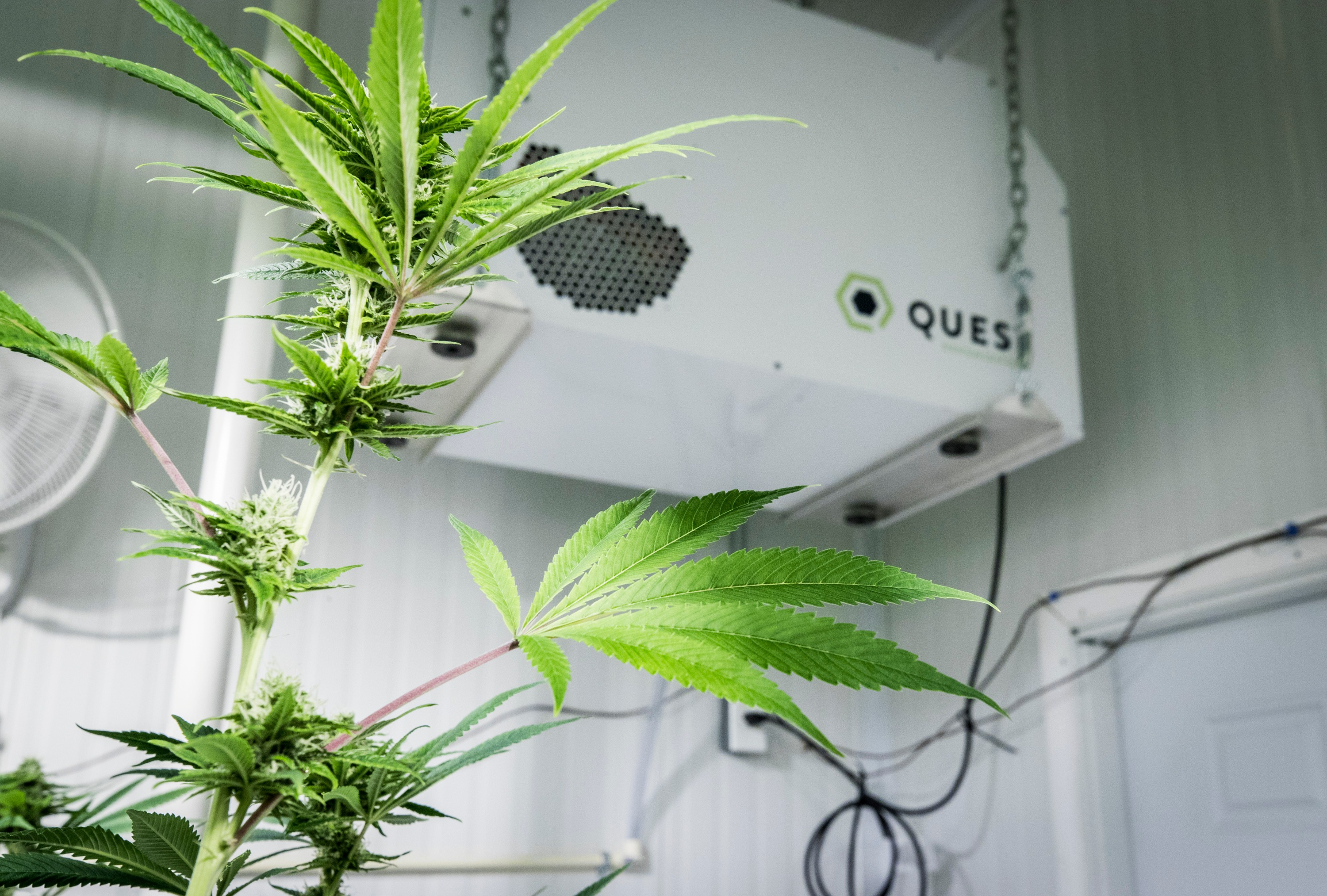 Ounce of Prevention: How to avoid powdery mildew on a cannabis grow