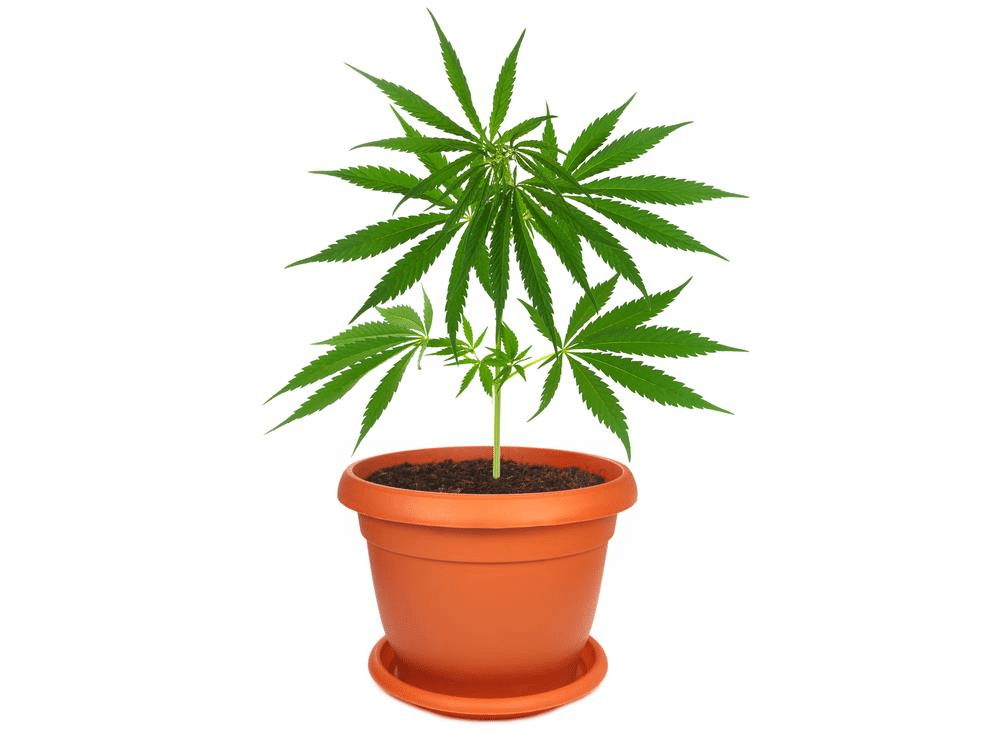 Marijuana container planting a primer the weed blog for Plant de pot exterieur