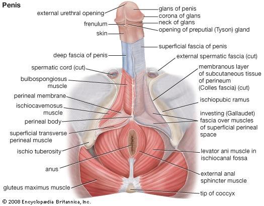 Transgender sexual organ
