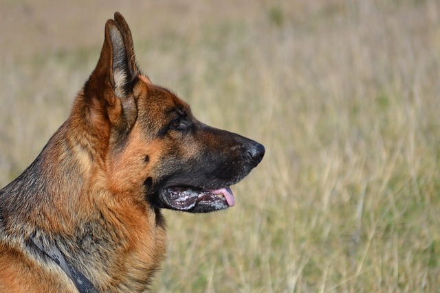 Why Do German Shepherds Have Black Dots on the Cheeks?