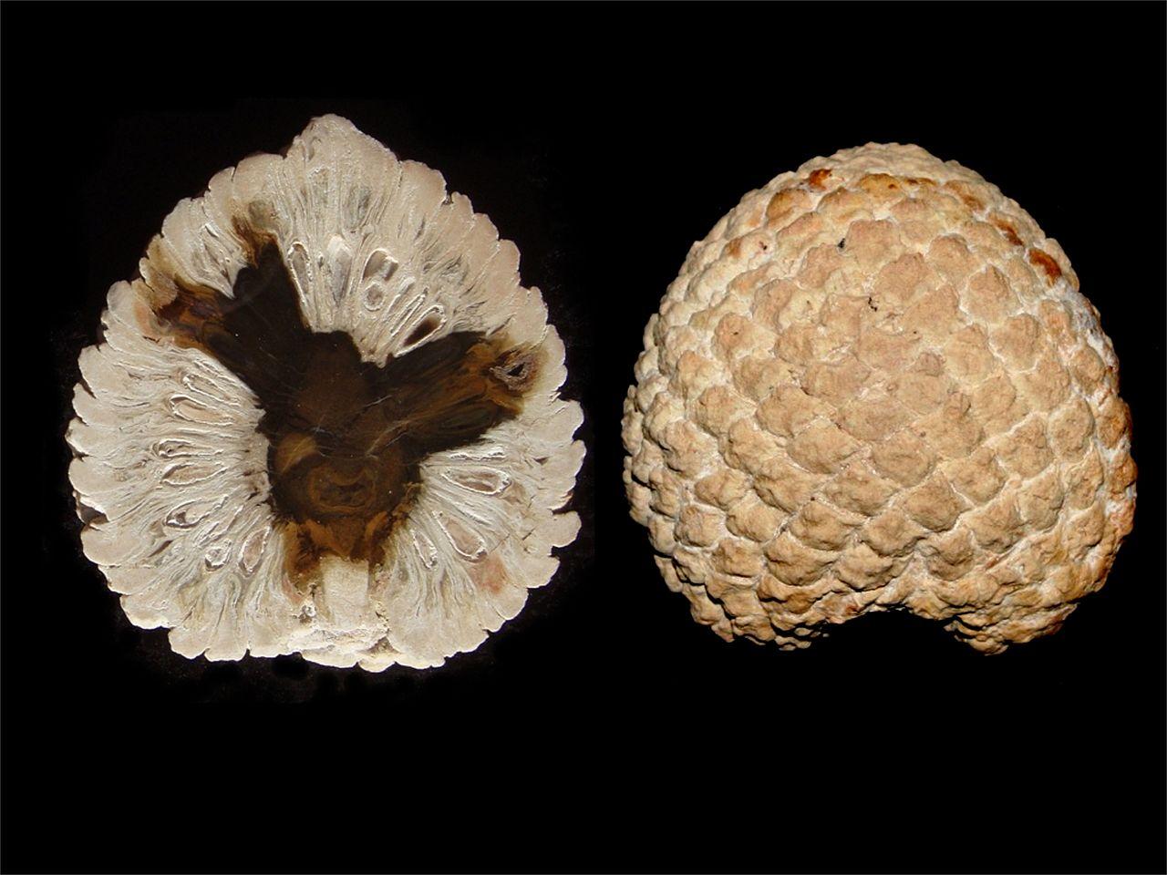 4. araucaria mirabilies cones
