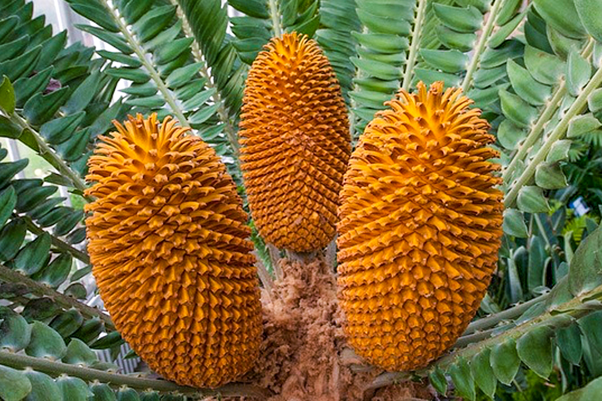6. Encephalartos_woodii_young_stem_cone_lower_leaflets_12_09_2010