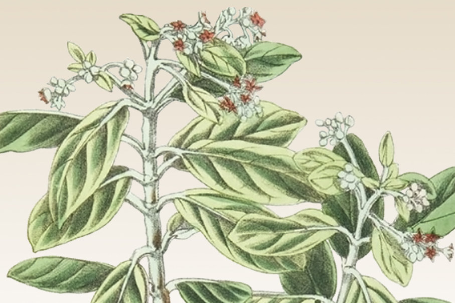 saint helena olive flower leaves extinct