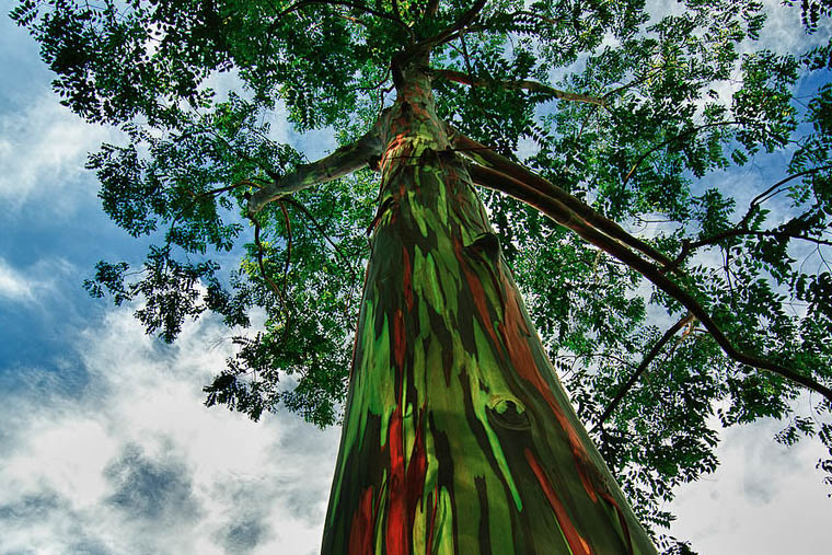 Rainbow-eucalyptus-truly-one-of-the-most-amazingly-beautiful-rainbow-colored-trees-on-earth
