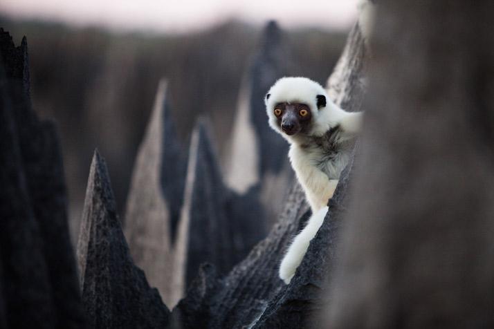 18-lemur-spot-714