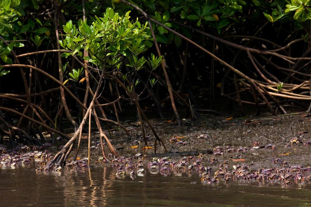 tentree mangrove