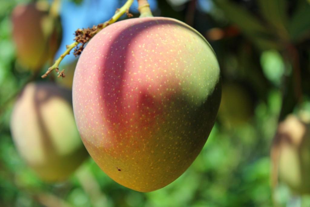 tentree mango