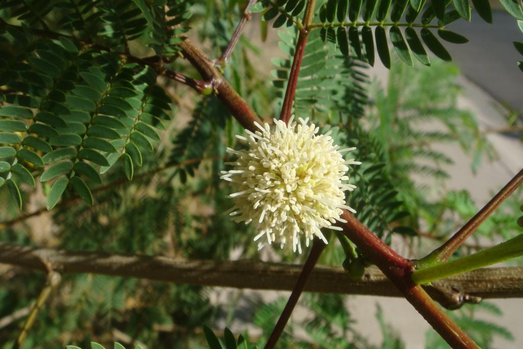 Acacia-berlandieri-20080403