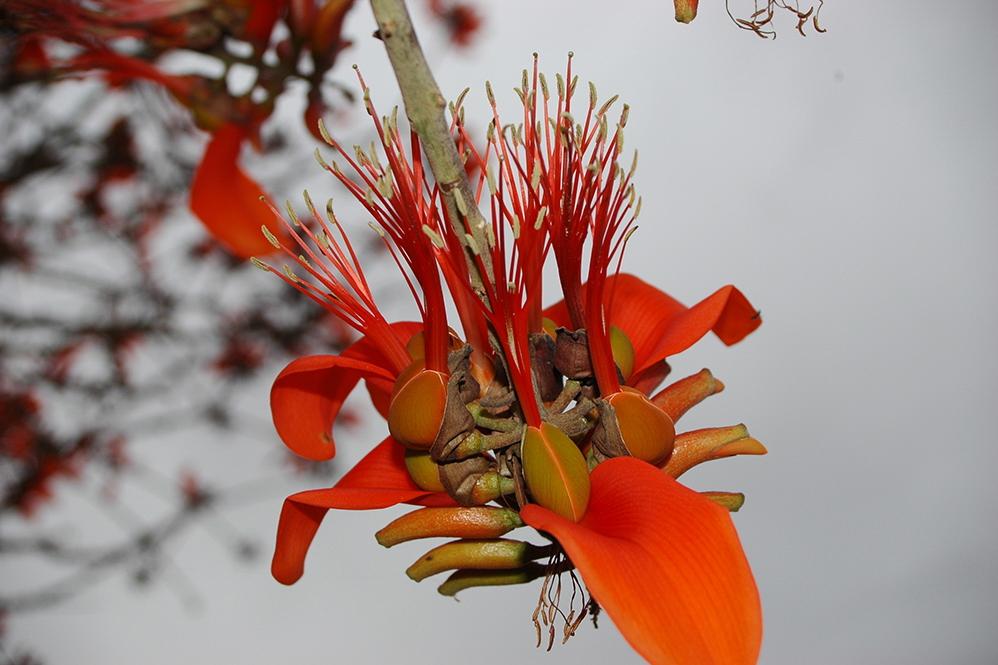 Erthyrina burtii