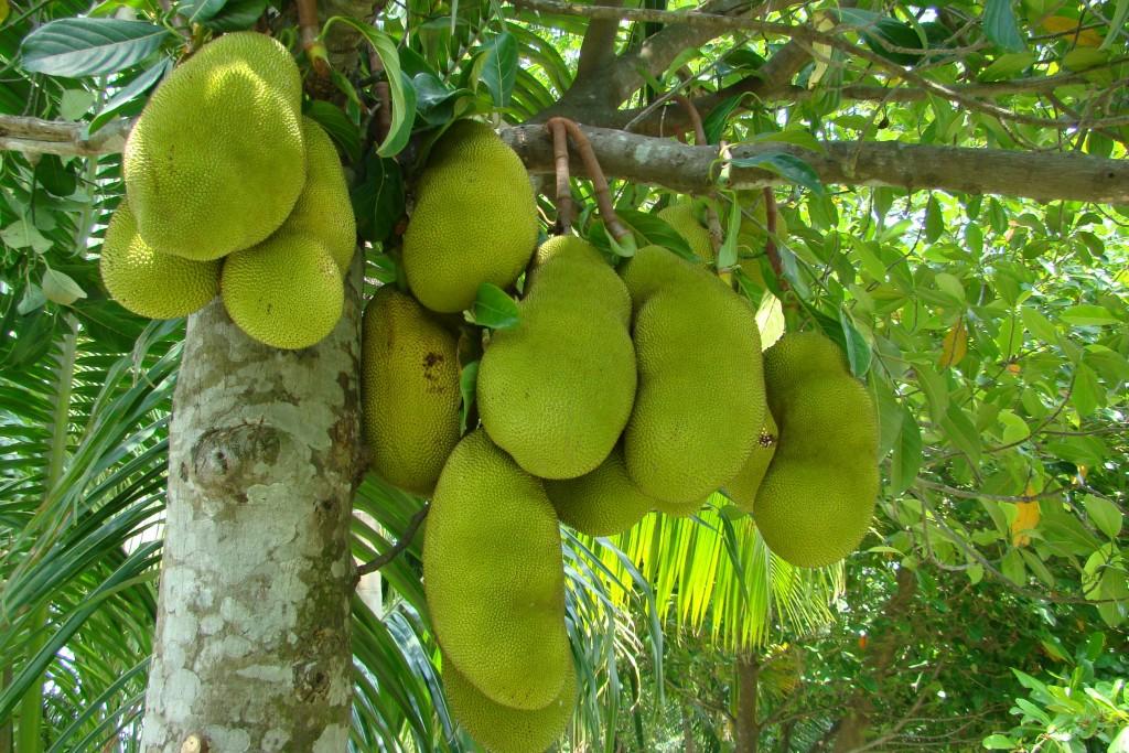 tentree jackfruit