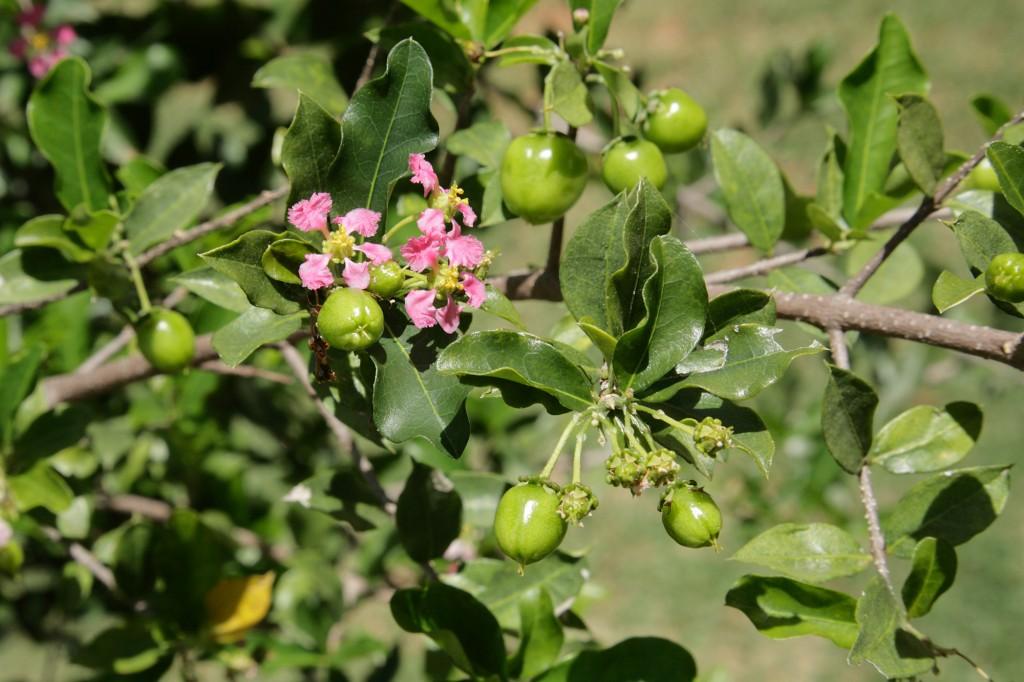 Closeup of Brazilian acerola fruit