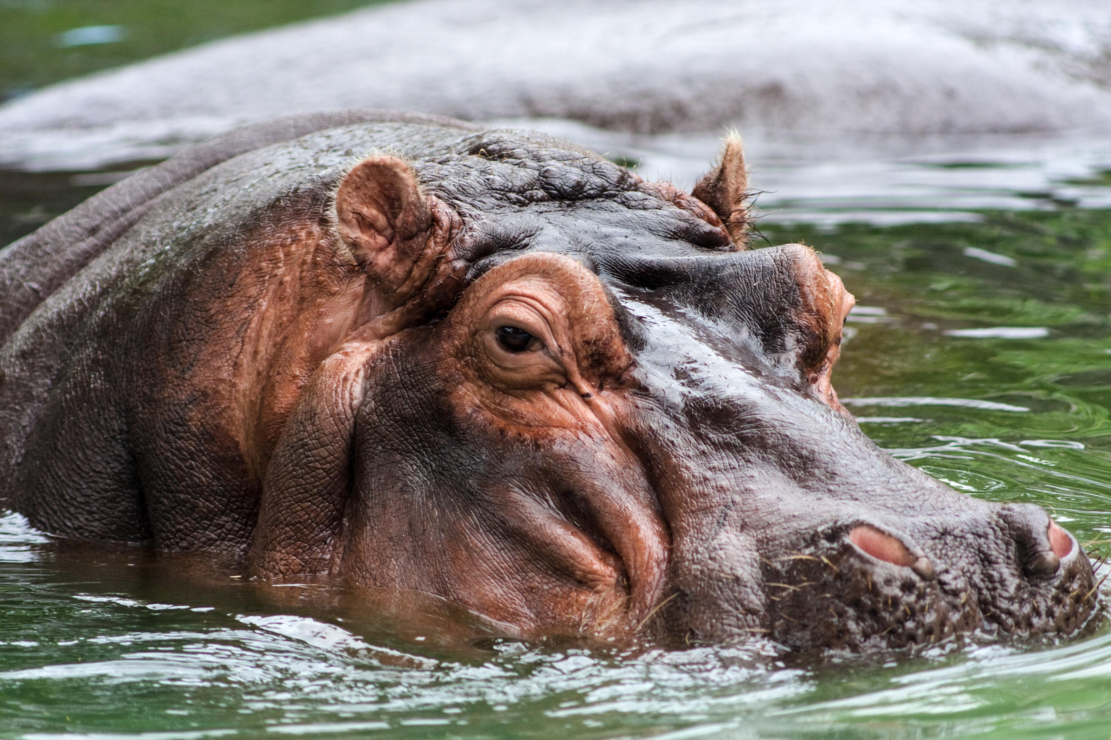hippoe