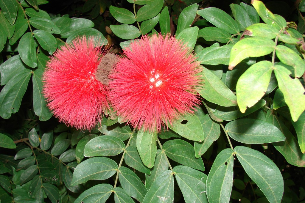 Calliandra calothyrsus tentree types of trees