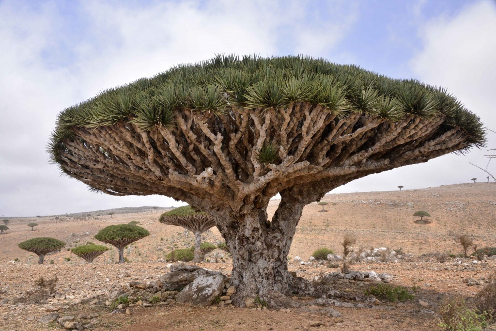 Dragon_Blood_Tree,_Socotra_Island_(10098980413)