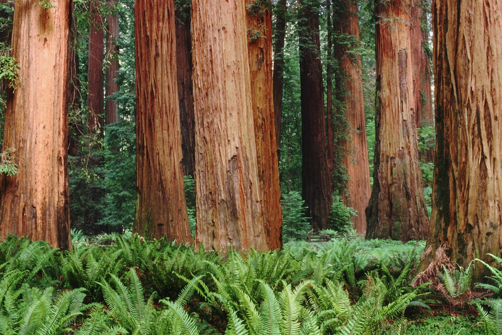 redwoods-wallpaper-2560x1440