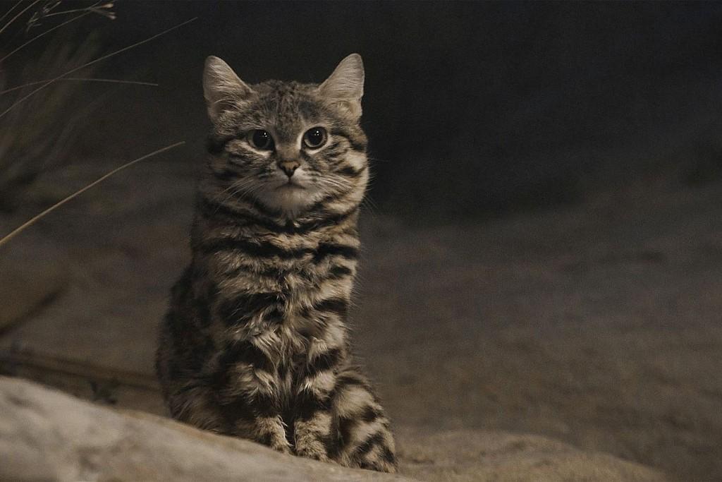 black footed cat wildcat endangered species
