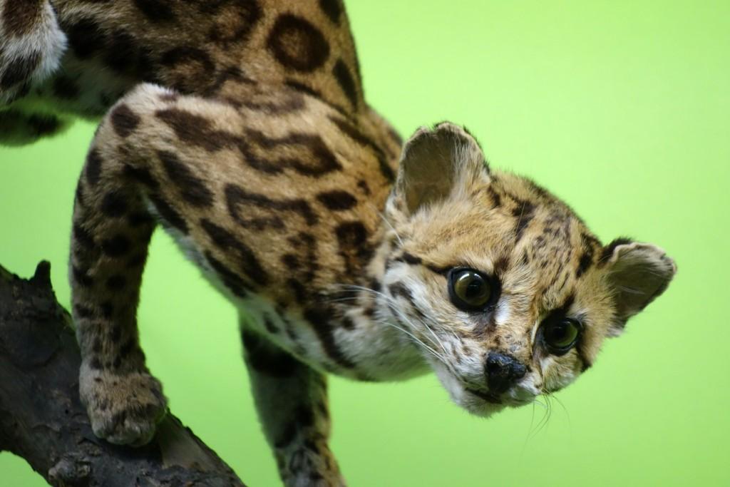 oncilla wildcat endangered species