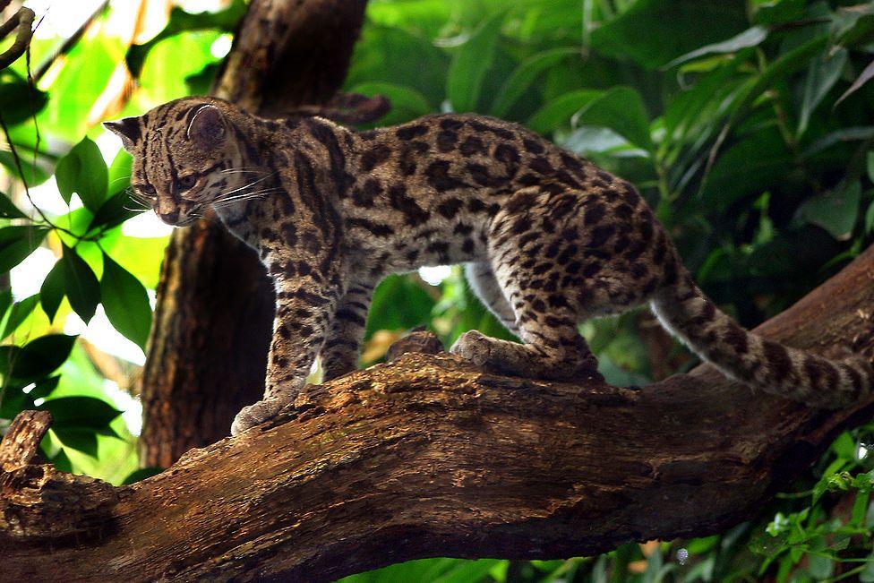 margay wildcat endangered species