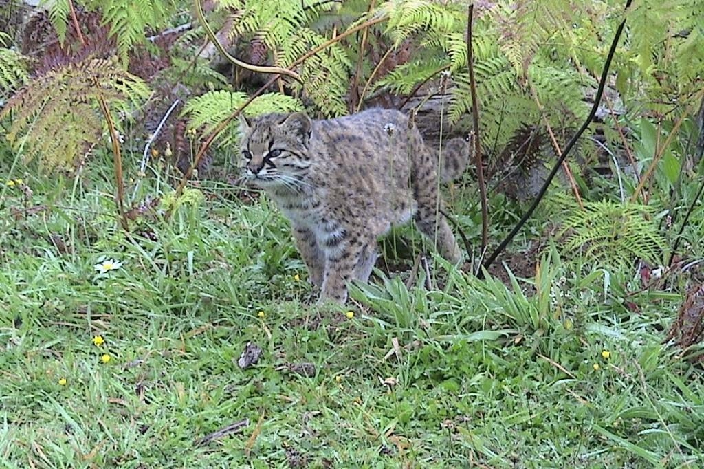 kodkod wildcat endangered species