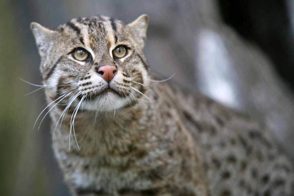 fishing cat wildcat endangered species
