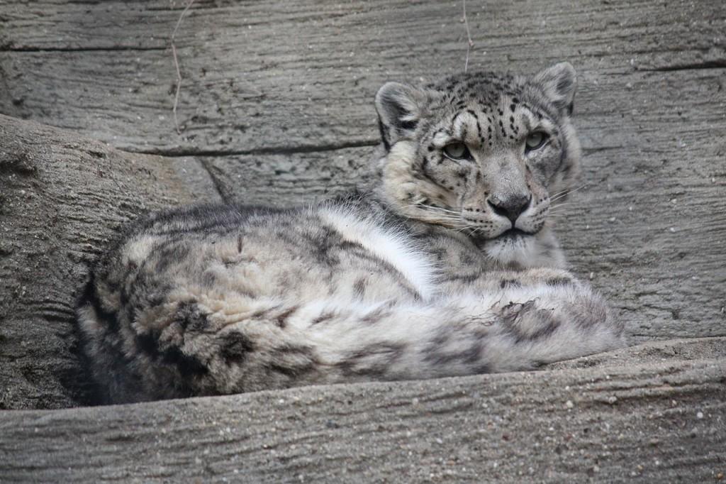 Snow Leopard wildcat endangered species