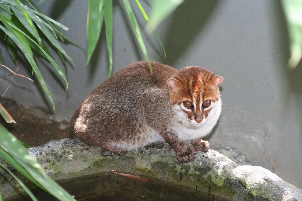 Flat Headed Cat wildcat endangered species
