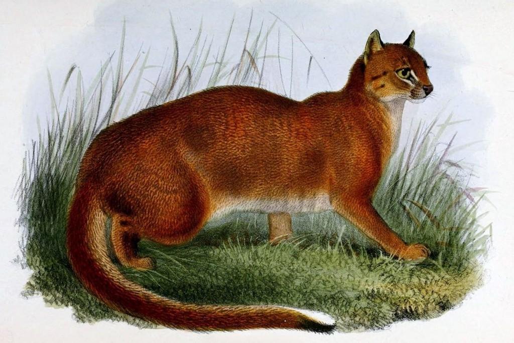 bay cat wildcat endangered species