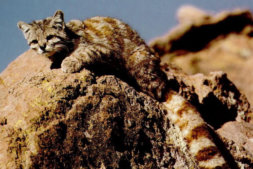 Andean Cat wildcat endangered species