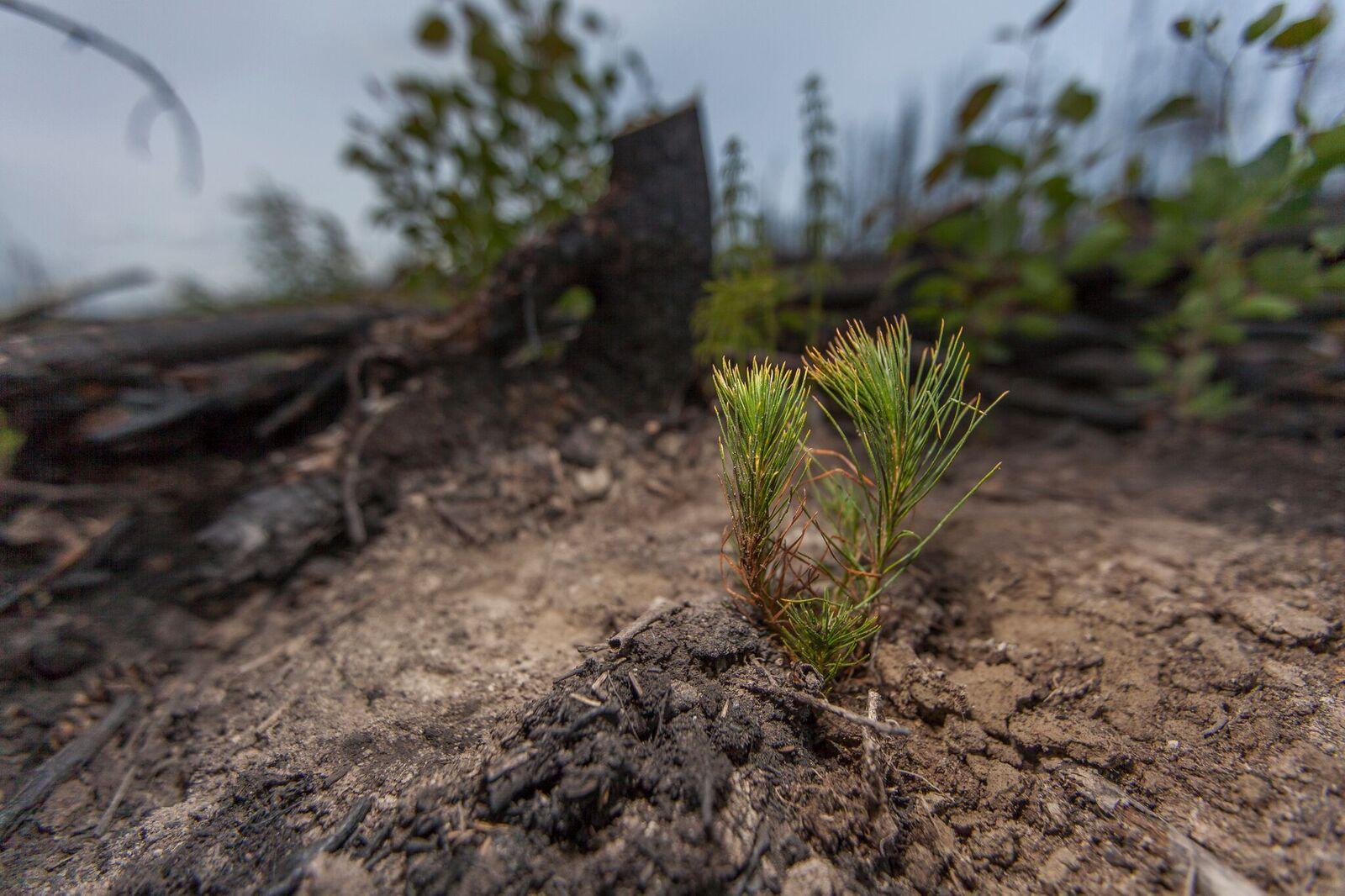 tree planting pine tree tentree