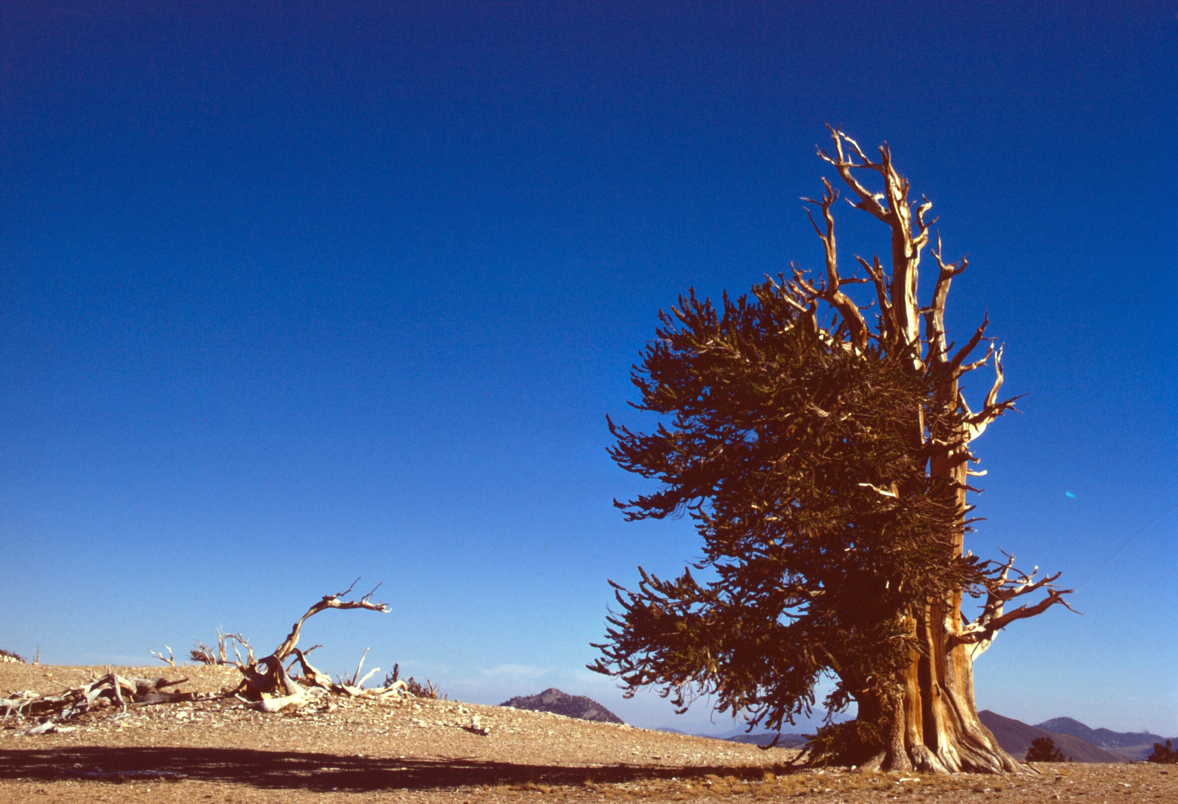 Ancient Bristecone Pine Forest, California, U.S.