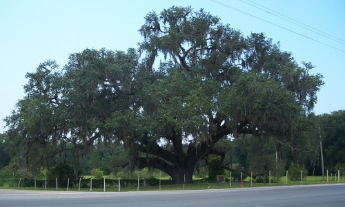1200px-FL_Volusia_Oak03