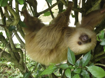 2_toed_sloth
