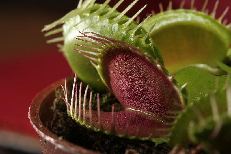 800px-Dionaea_muscipula_trap
