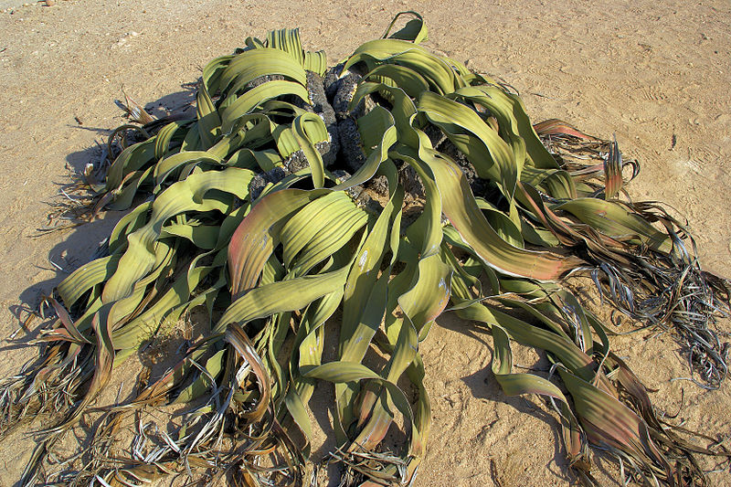 800px-Welwitschia_mirabilis