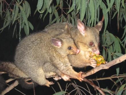 Brushtail_possum