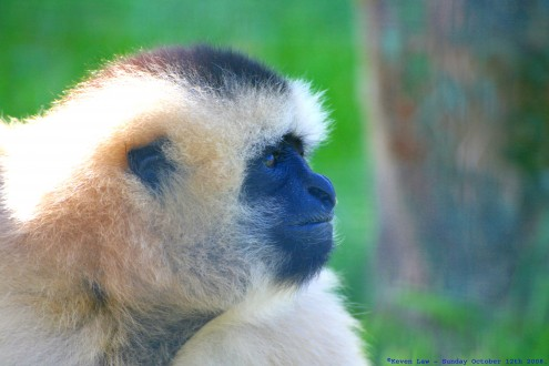 Flickr_-_law_keven_-_Do_the_Funky_Gibbon....