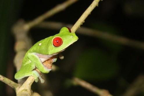 Red-eyed_tree_frog_Lapa_Rios