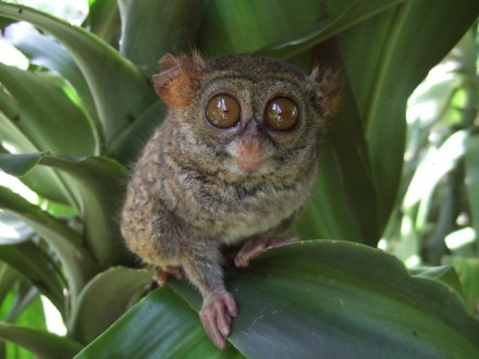 Tarsius_tarsier_Tandurusa_zoo