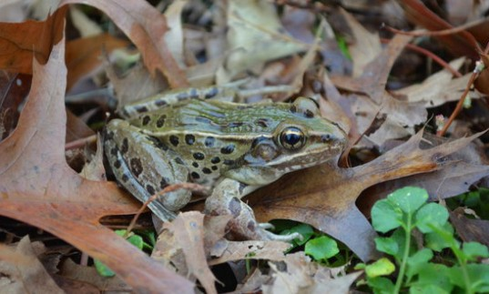 new-leopard-frog-nytimes-537x323