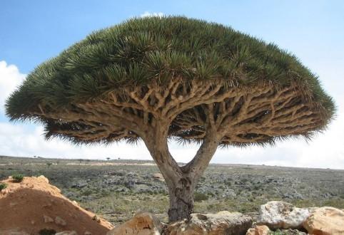dragon tree canary islands
