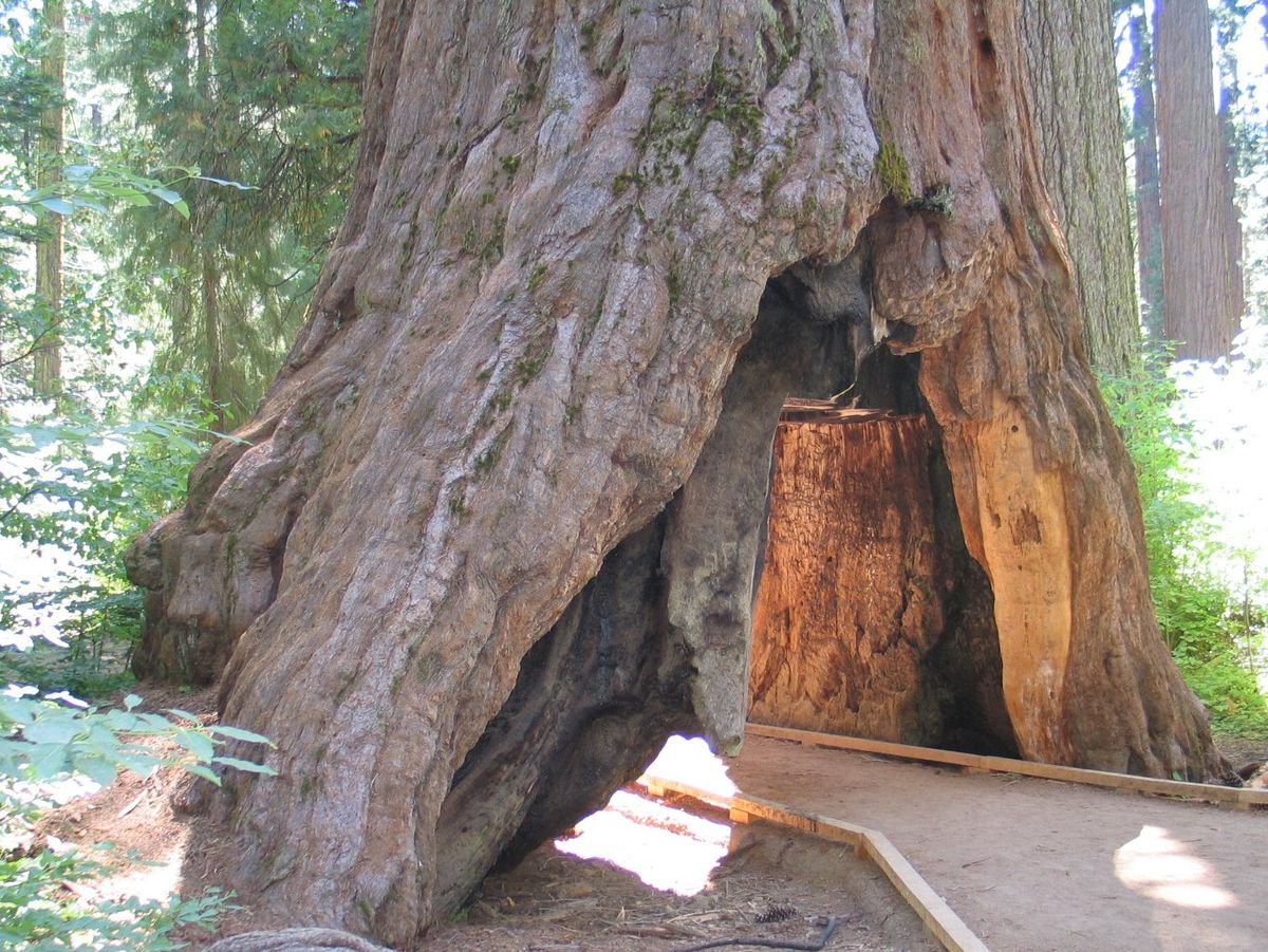 6 of the weirdest trees in the world tentree chandelier tree california redwood arubaitofo Gallery