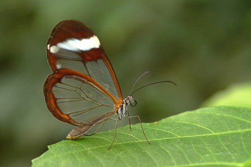 Glasswinged_butterfly