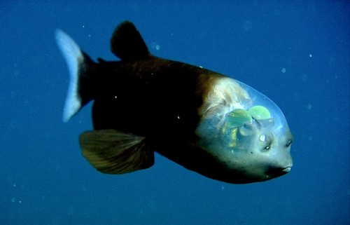 Pacific-Barreleye-fish