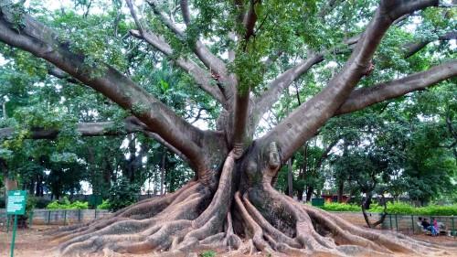 silk cotton tree cambodia