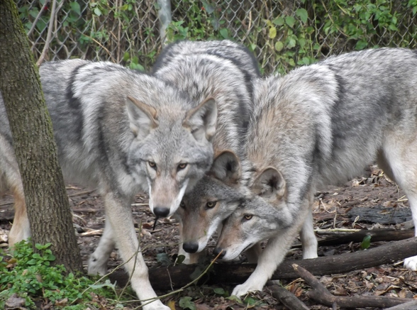 north american gray wolf pack